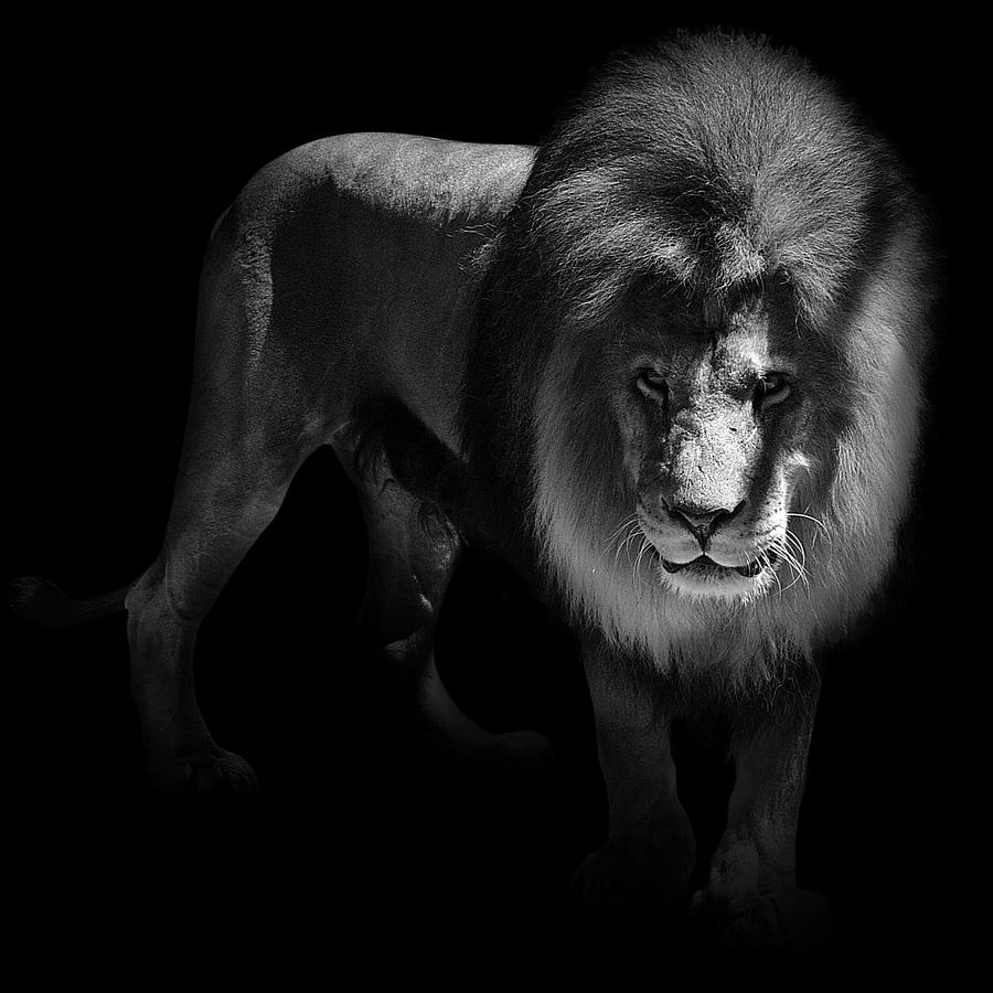 Lion photograph portrait of lion in black and white by lukas holas