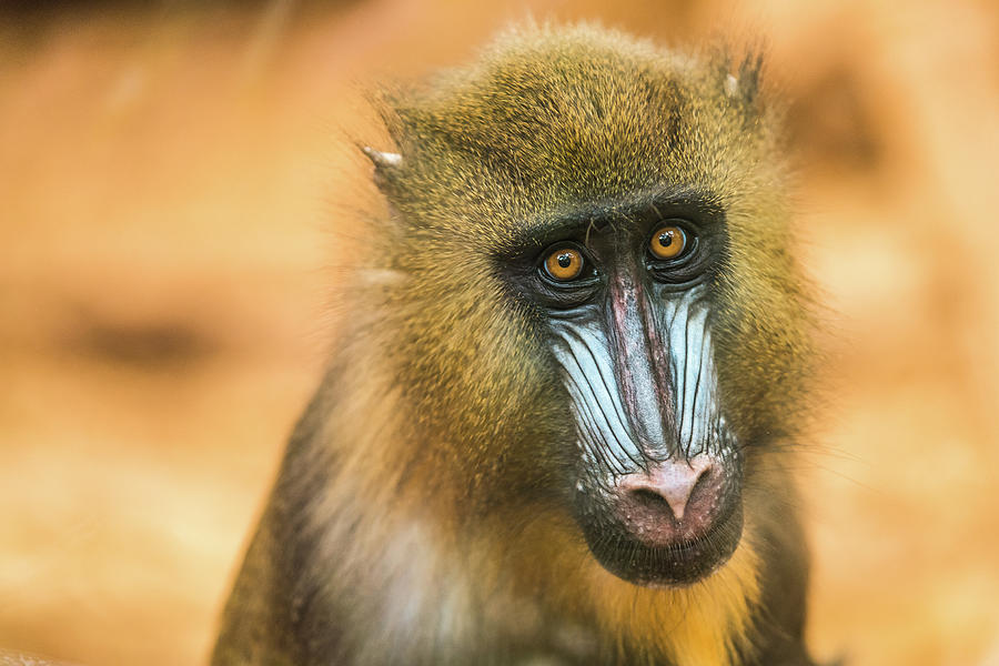 Portrait Of Mandrillus Sphinx Primate Photograph by James Farley