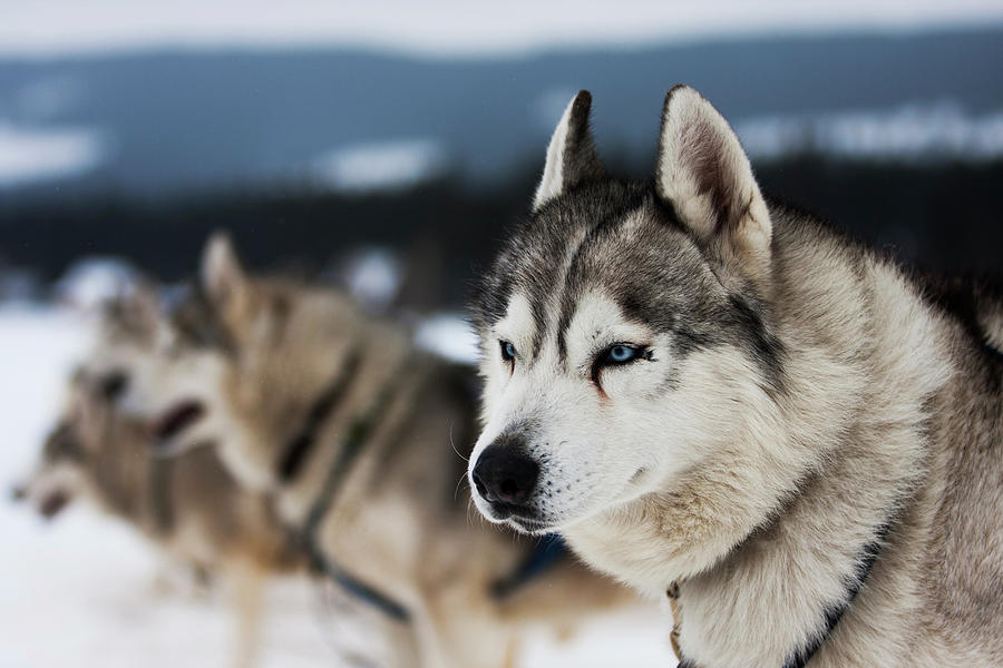 Working Animals Photograph - Portrait Of Siberian Husky Sled Dogs by Adam Kokot