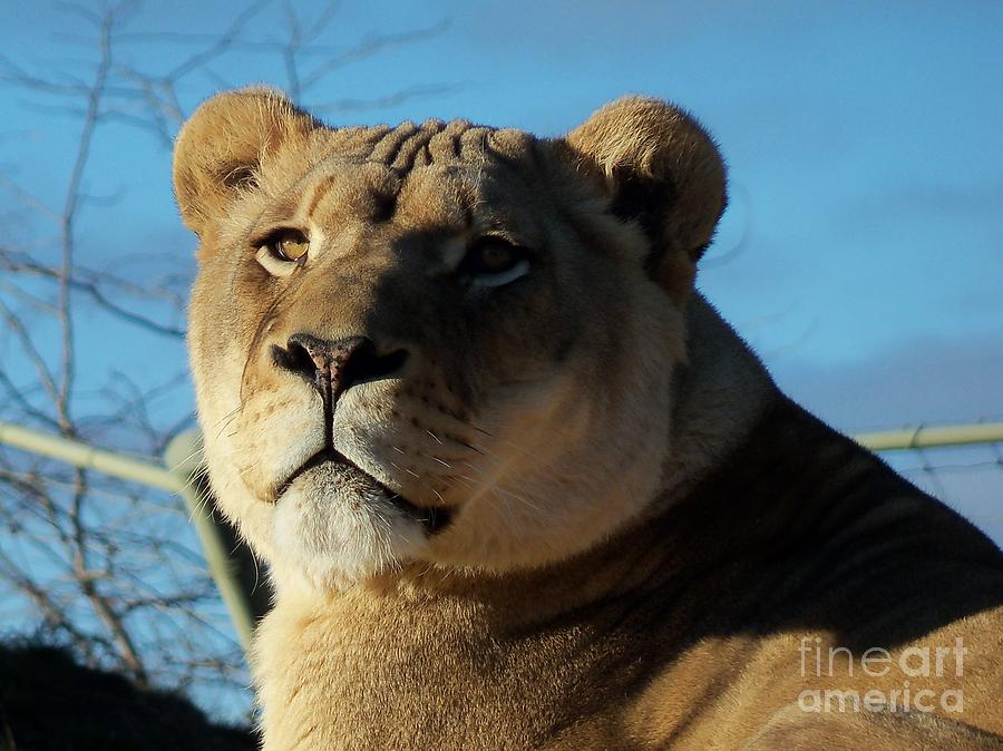 Wild Photograph - Portrait Of The Mighty Queen by Lingfai Leung