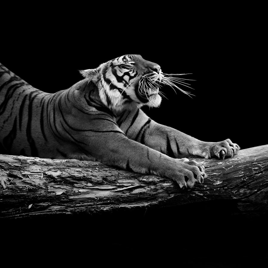Tiger Photograph - Portrait Of Tiger In Black And White by Lukas Holas