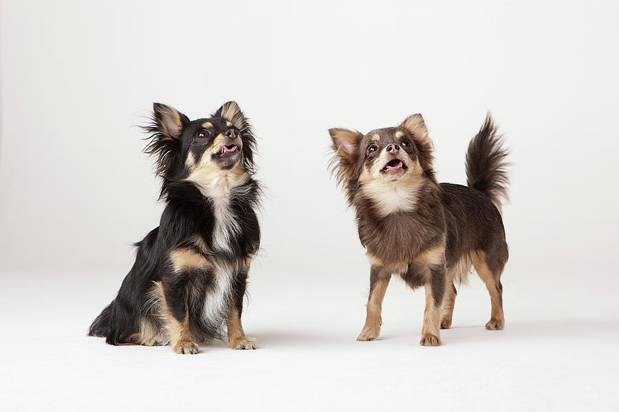 Portrait Of Two Chihuahuas Photograph by Compassionate Eye Foundation/david Leahy