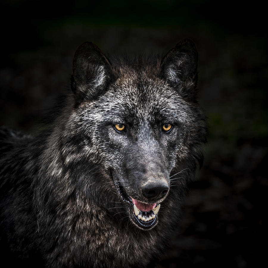 Portrait Of Wolf In Forest Photograph by Zocha_K