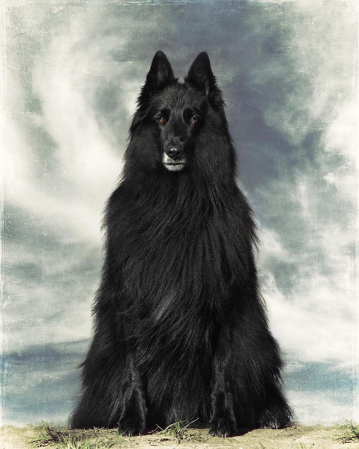 Portrait Of Wolfcub Belgian Shepherd Groenendael ...