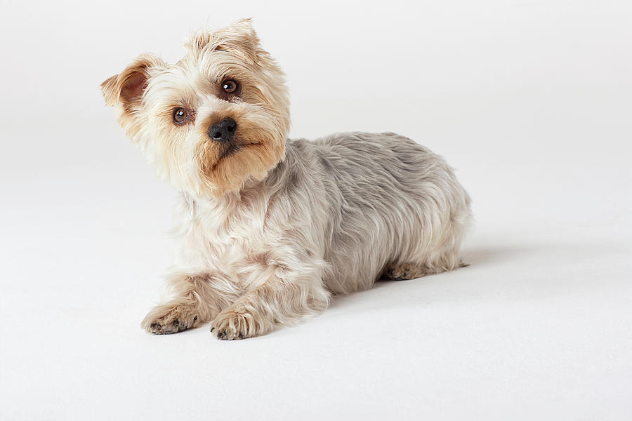 Portrait Of Yorkshire Terrier Looking Photograph by Compassionate Eye Foundation/david Leahy