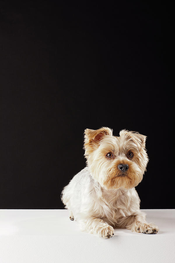 Portrait Of Yorkshire Terrier Lying Down Photograph by Compassionate Eye Foundation/david Leahy