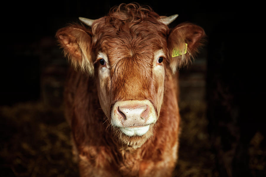 Portrait Of Young Cow Photograph by T-lorien