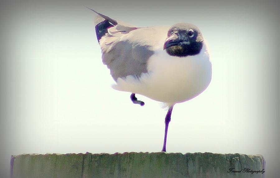 Seagull Photograph - Posing Seagull by Debra Forand