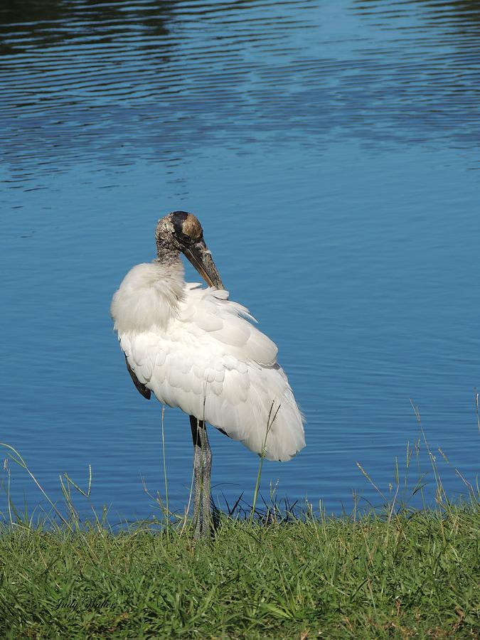Pond Photograph - Posing Wood Stork by Judy  Waller