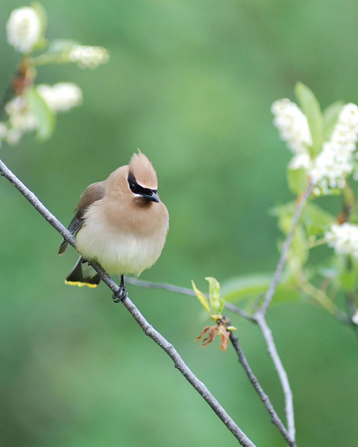 Possing Cedar Waxwing by Jan Piet