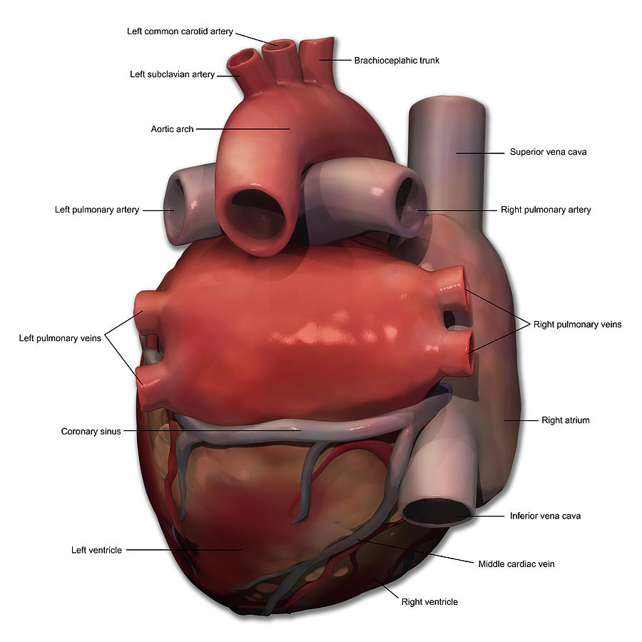 Posterior View Of Human Heart Anatomy Photograph By Alayna Guza