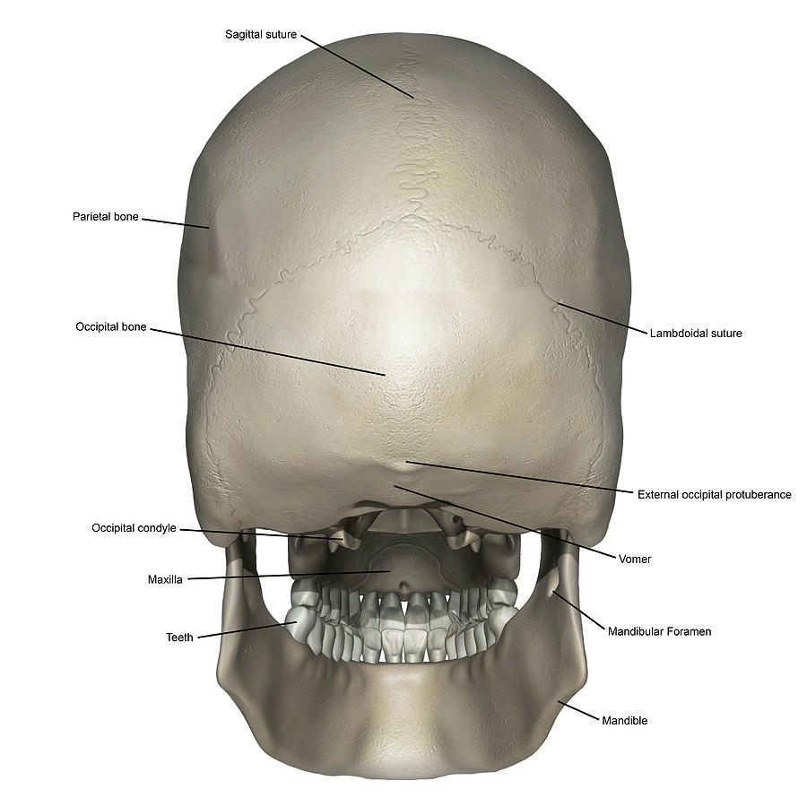 Posterior View Of Human Skull Anatomy Photograph By Alayna Guza