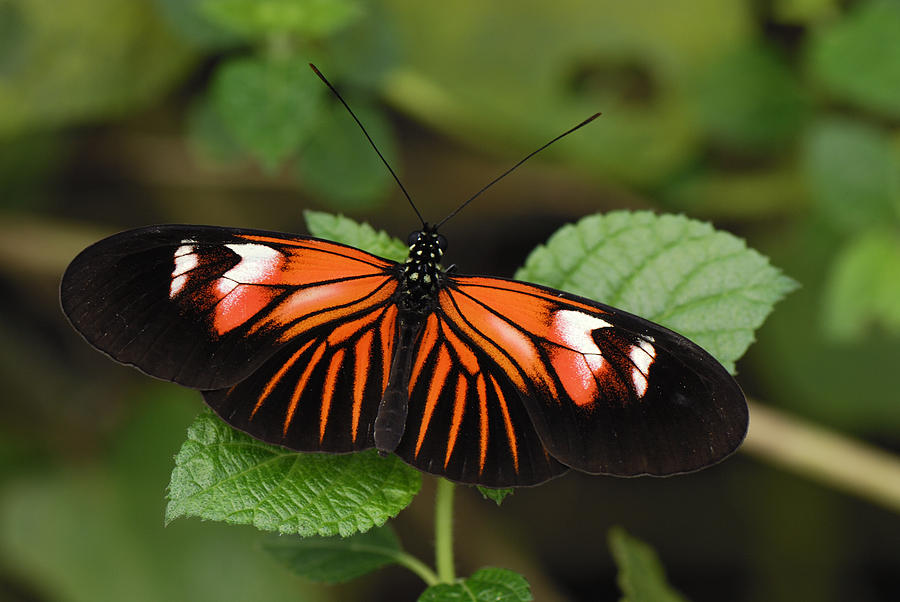 Postman Butterfly Butterfly Colombia Photograph by Thomas Marent