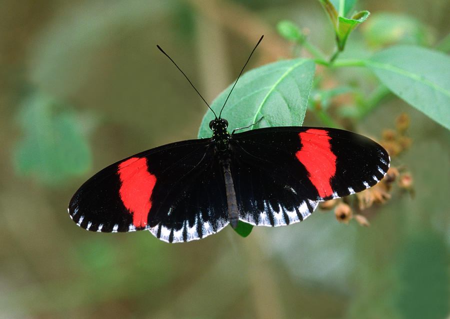 1 Photograph - Postman Butterfly by Nigel Downer
