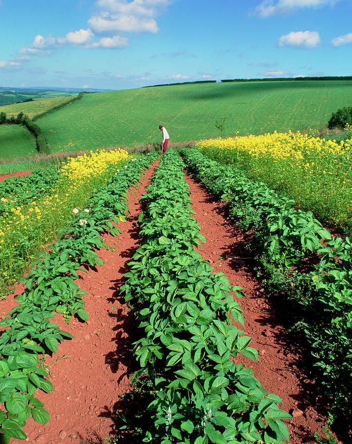 Pest Control Photograph - Potato Plants Flanked By Mustard On Organic Farm by Martin Bond/science Photo Library