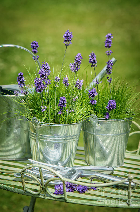 Lavender Photograph - Pots Of Lavender by Amanda Elwell