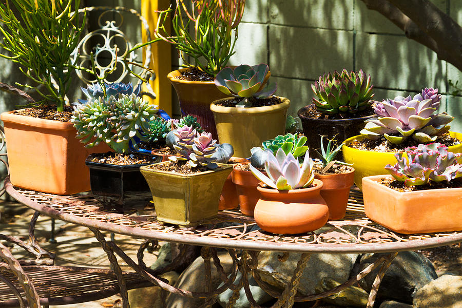 Potted Photograph - Potted Succulents  by Bernard  Barcos