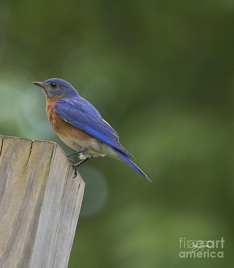 Bird Photograph - Powder Blue by Cris Hayes