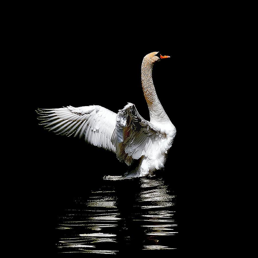 Mute Swan Photograph - Power And Beauty by Tomasz Dziubinski