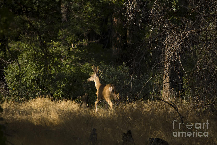 Landscape Photograph - pr 140 -Deer in the Grass by Chris Berry