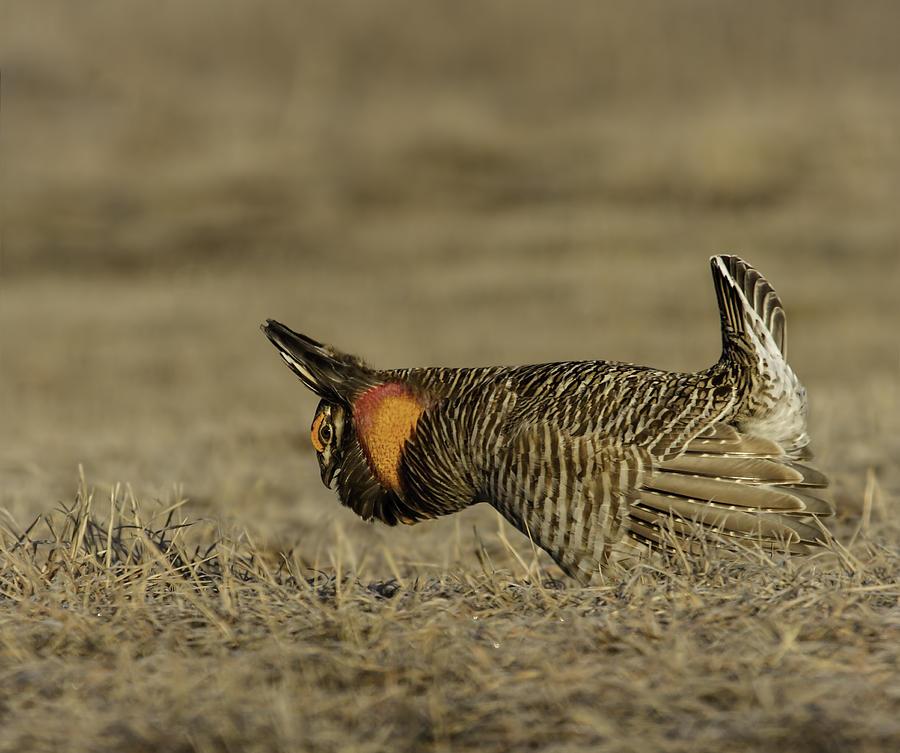 Prairie Chicken Photograph - Prairie Chicken-9 by Thomas Young