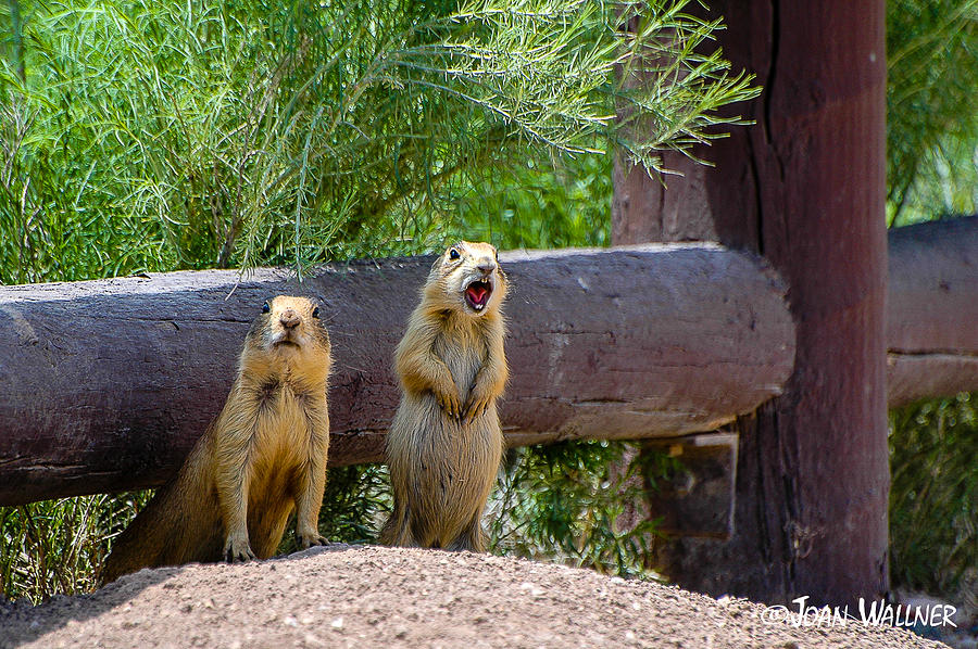 Bryce National Park Photograph - Prairie Dogs in Bryce by Joan Wallner