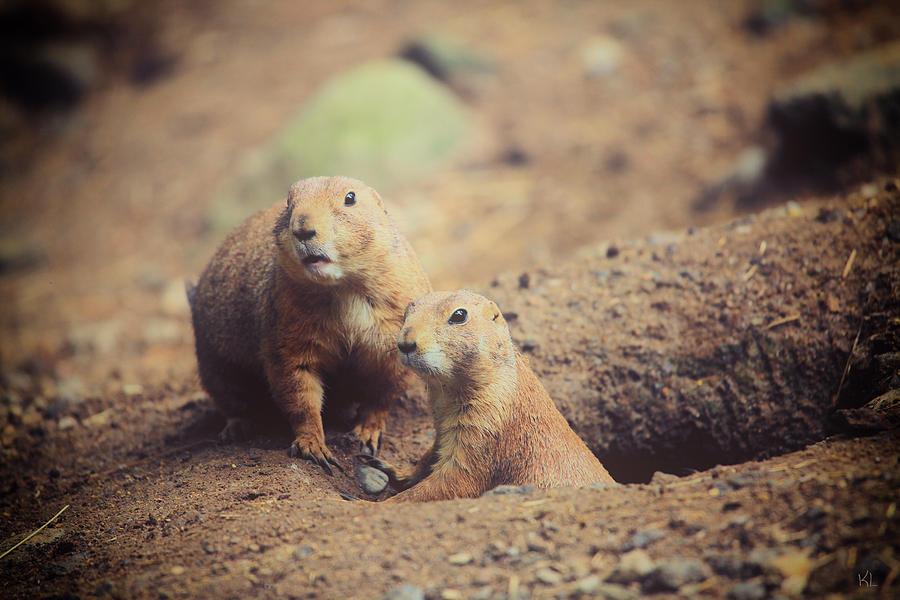Prairie Dogs Photograph - Prairie Dogs by Karol Livote