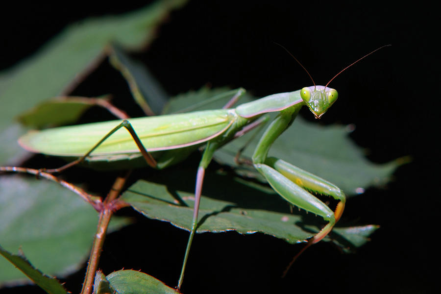Praying Mantis Photograph - Praying Mantis by Christina Rollo
