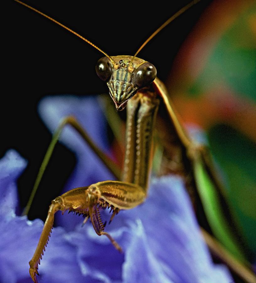 Mantis Photograph - Praying Mantis  Closeup Portrait 3  On Iris Flower by Leslie Crotty