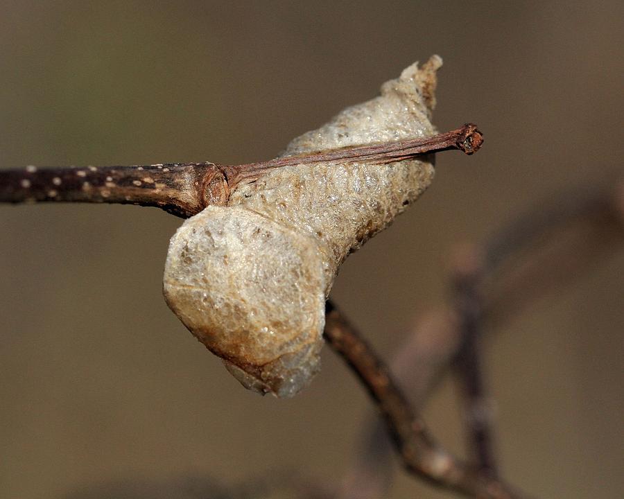 Praying Mantis Egg Case Photograph By Doris Potter