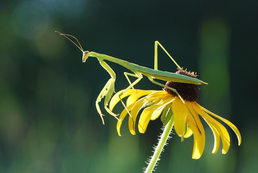 Praying Mantis by Pristine Images