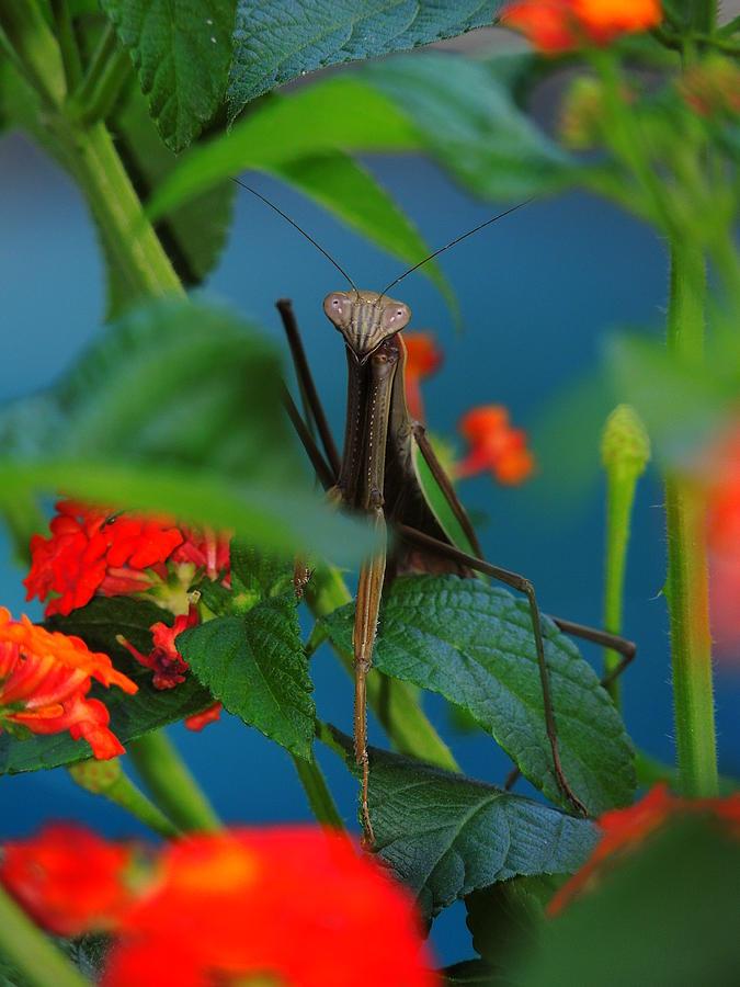 Salani Photograph - Praying Mantis by Raymond Salani III