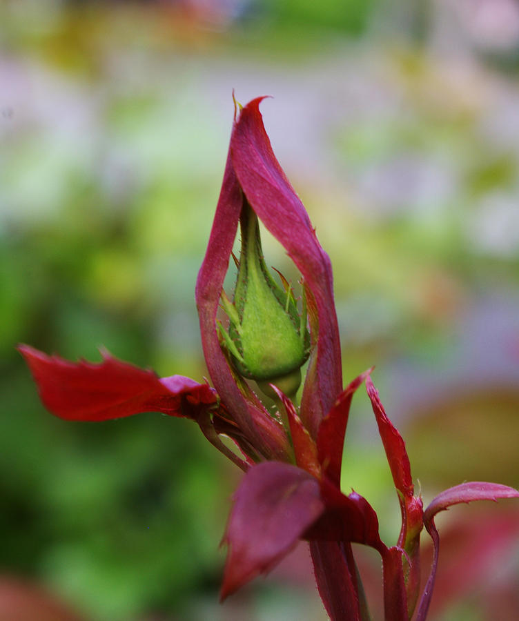 Rosebud Photograph - Praying Rosebud by Christine Burdine