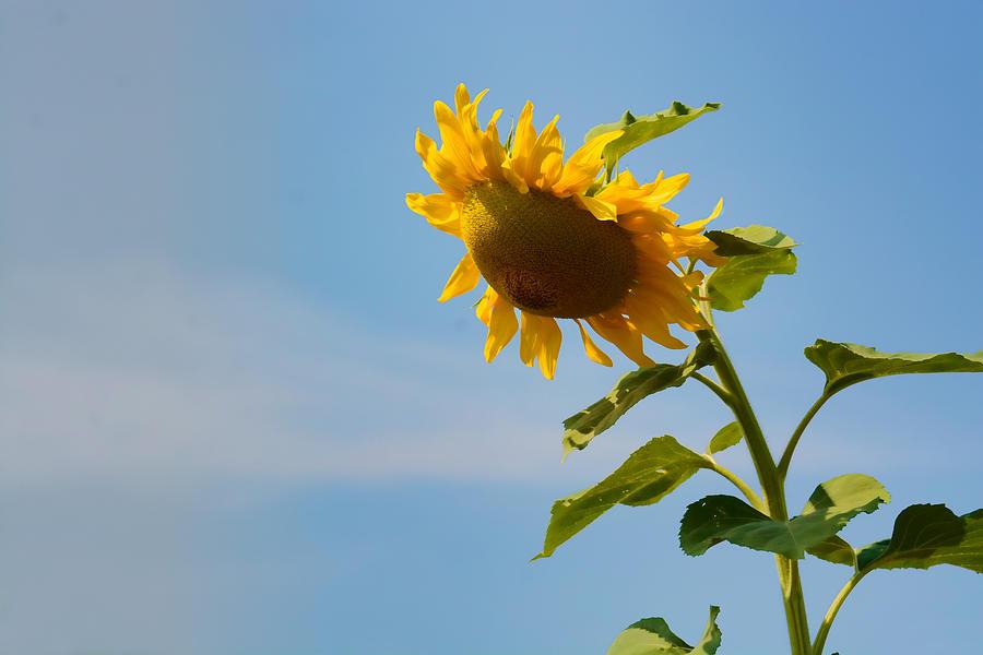Sunflower Photograph - Praying Sunflower by Nancy De Flon