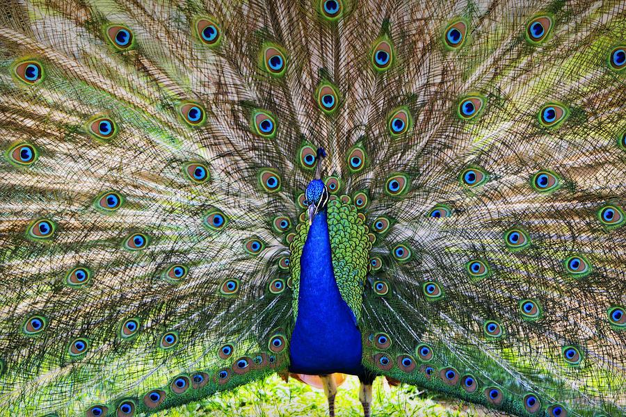 Peacock Photograph - Pretty As A Peacock by Tony  Colvin