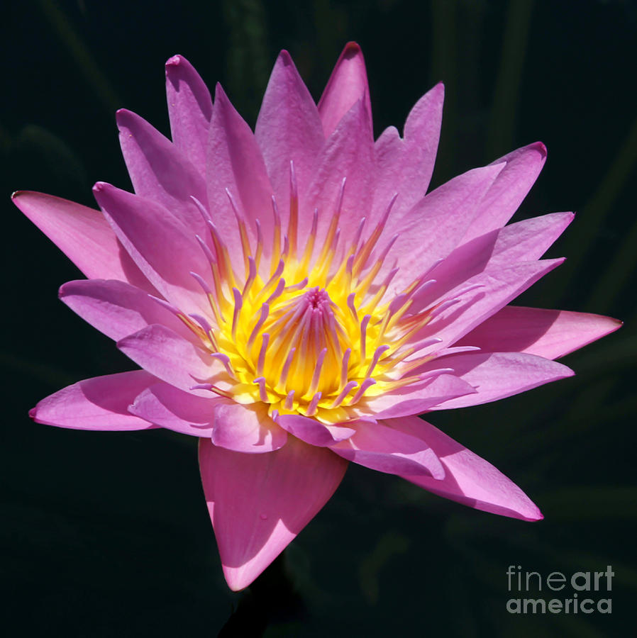 Landscape Photograph - Pretty In Pink And Yellow Water Lily by Sabrina L Ryan