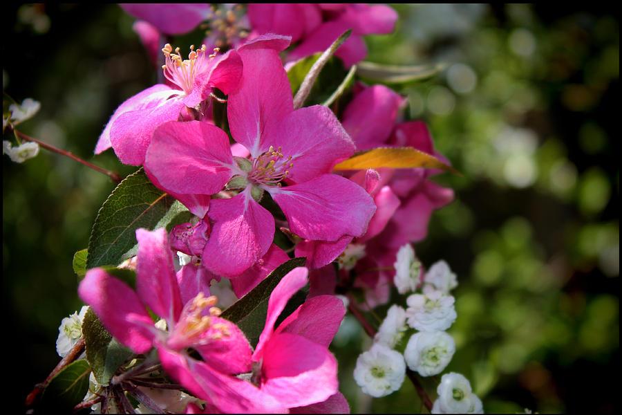 White Photograph - Pretty In Pink II by Aya Murrells