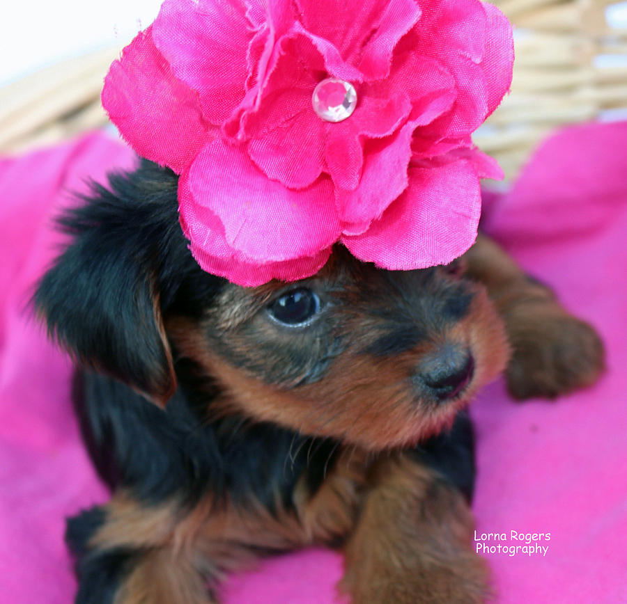 Yorkie Photograph - Pretty In Pink by Lorna Rogers Photography