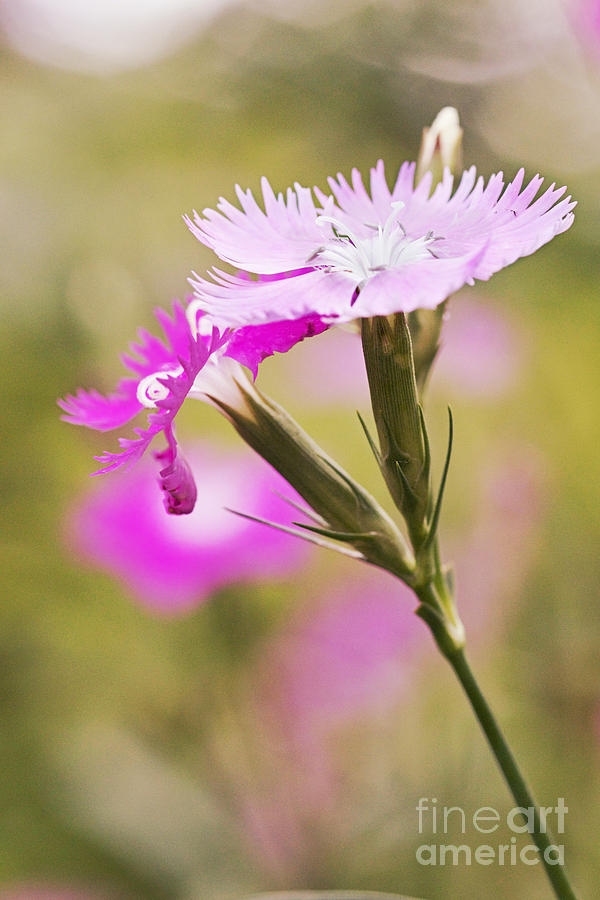 Dianthus Photograph - Pretty In Pink by Pamela Gail Torres