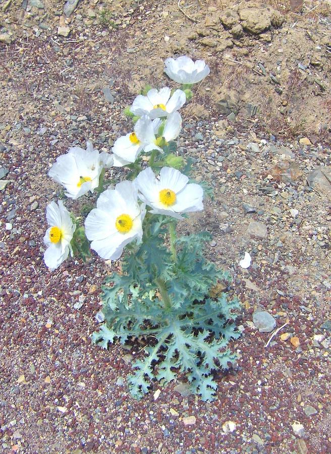 Desert Photograph - Pretty In White by Marilyn Diaz