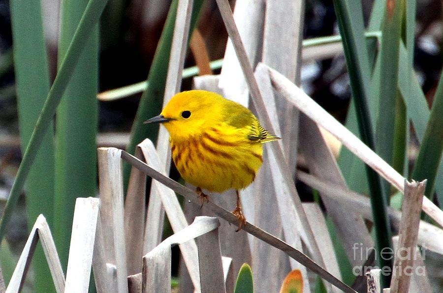 Yellow Warbler Photograph - Pretty Little Yellow Warbler by Elizabeth Winter
