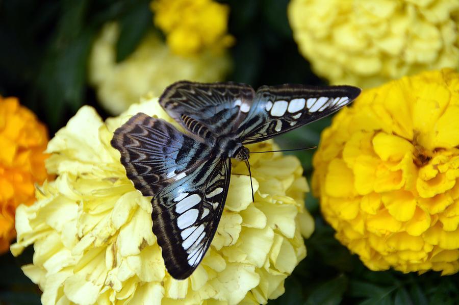 Butterflies Photograph - Pretty on Mums by David Earl Johnson