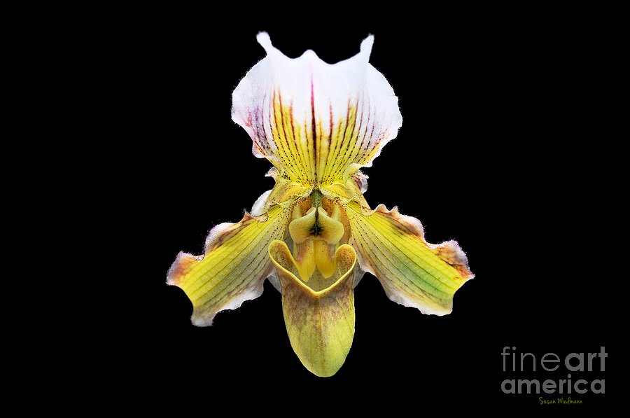 Orchid Photograph - Pretty Paphiopedilum Orchid Ver. 2 by Susan Wiedmann