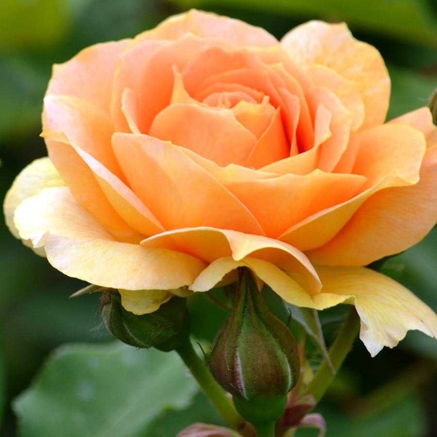 Pretty peach rose photograph by p s for Cream rose wallpaper