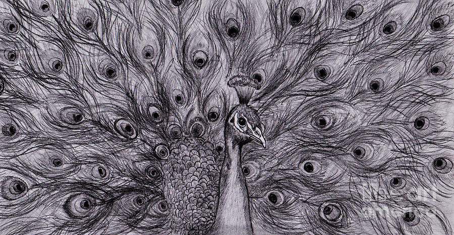 Peacock drawing pretty pencil peacock by amy nelson