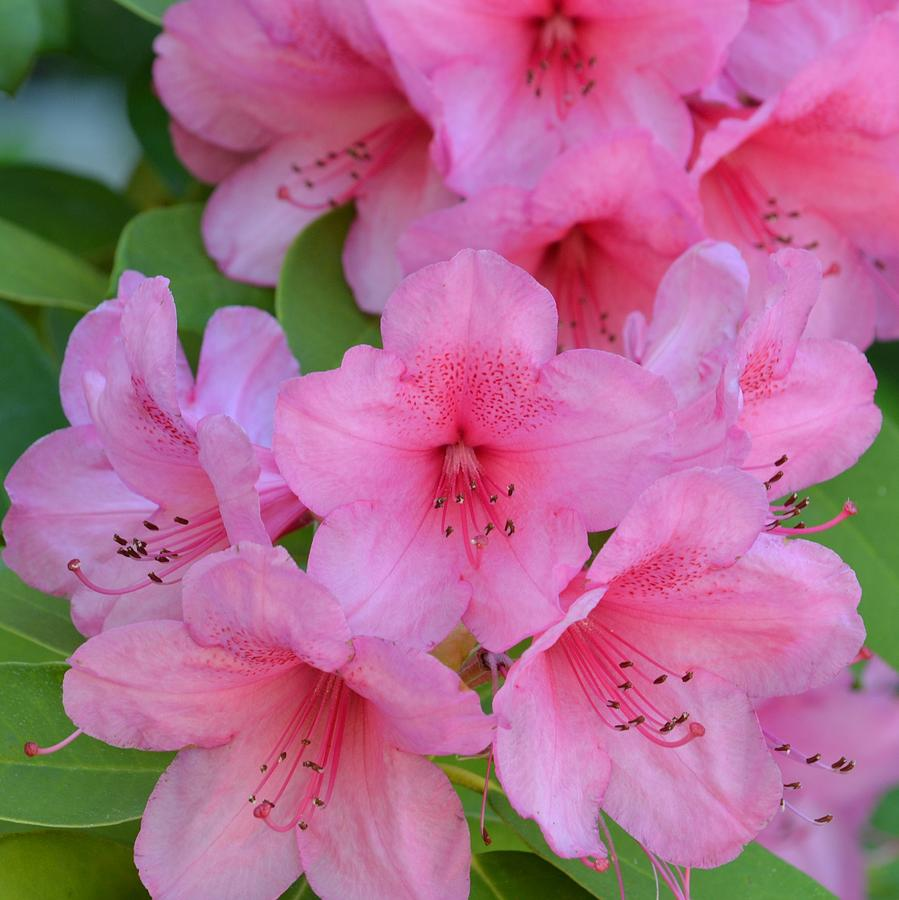 Pretty Pink Azalea Flowers Photograph by P S