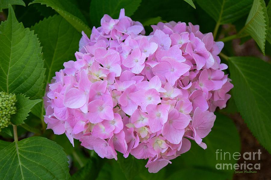 Hydrangea Photograph - Pretty Pink Hydrangea by Susan Wiedmann