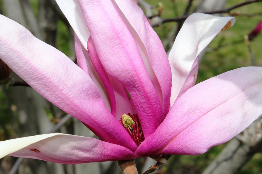 Flowers Photograph - Pretty Pink Magnolia by Judy Palkimas