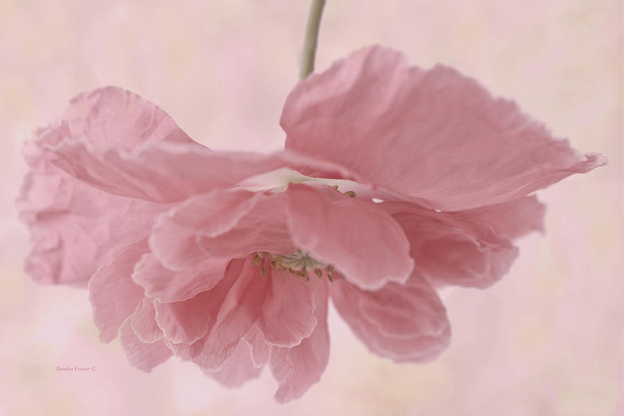 Poppy Photograph - Pretty Pink Poppy Macro by Sandra Foster