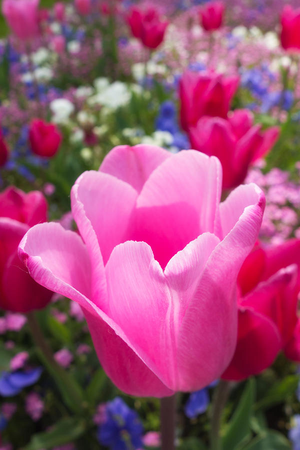 Pretty Pink Tulip And Field With Flowers And Tulips Photograph